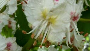 Paardenkastanje in bloei