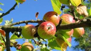 Fruitbomen snoeien met IVN Cuijk