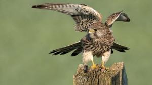 Online lezing over roofvogels in Nederland